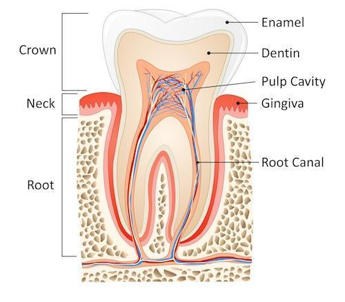 Diagram of tooth and root structure at dentist office near Franklin MA